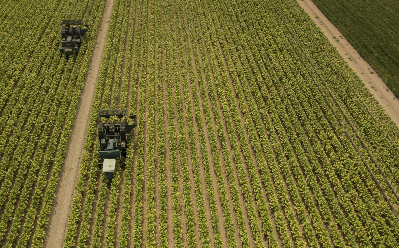 Aerial view of two farming vehicles going through a field of tobacco crops.