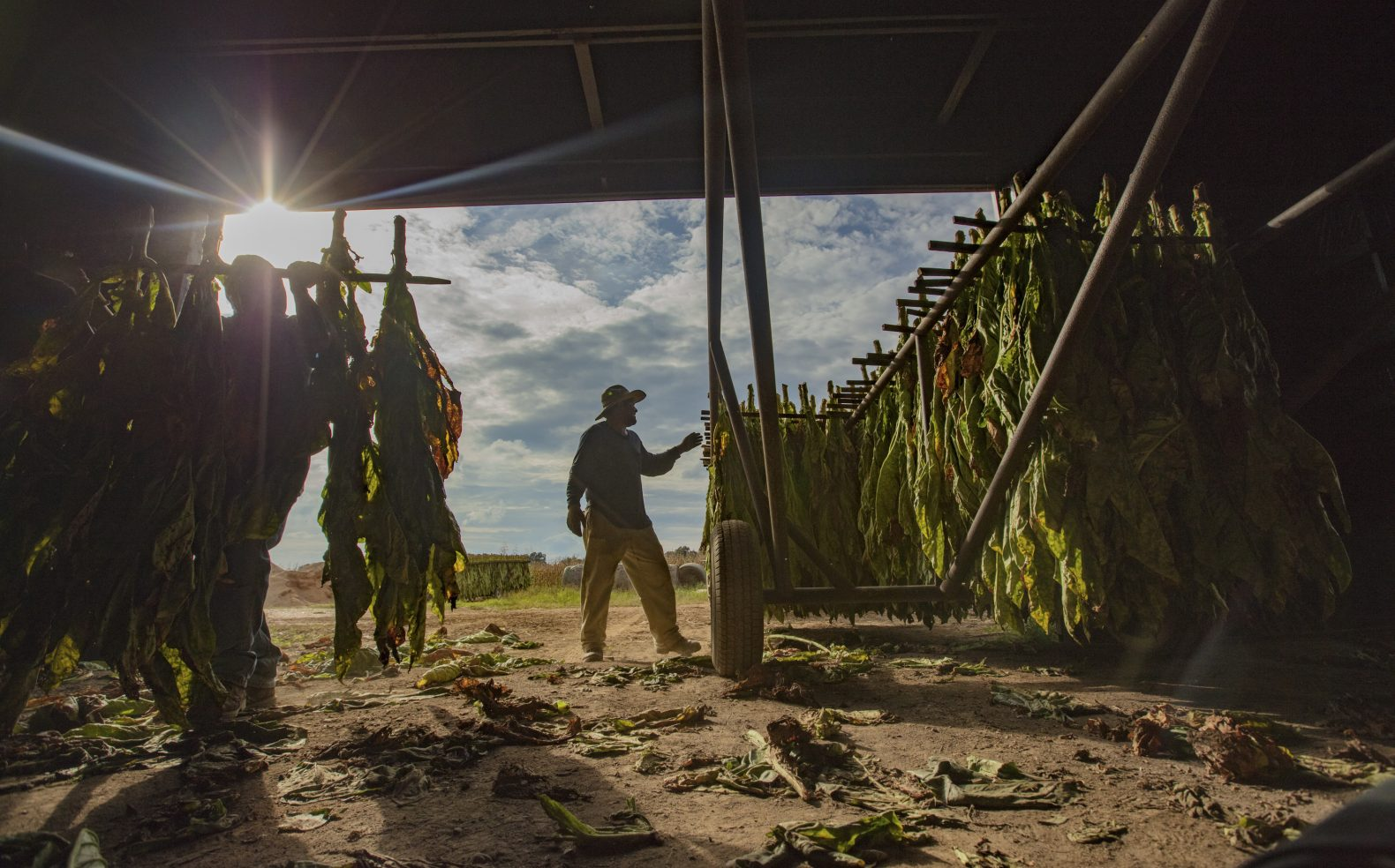 A farmer in North Carolina standing next to rows of tobacco hanging for storage in a shed, a tobacco field in the background.