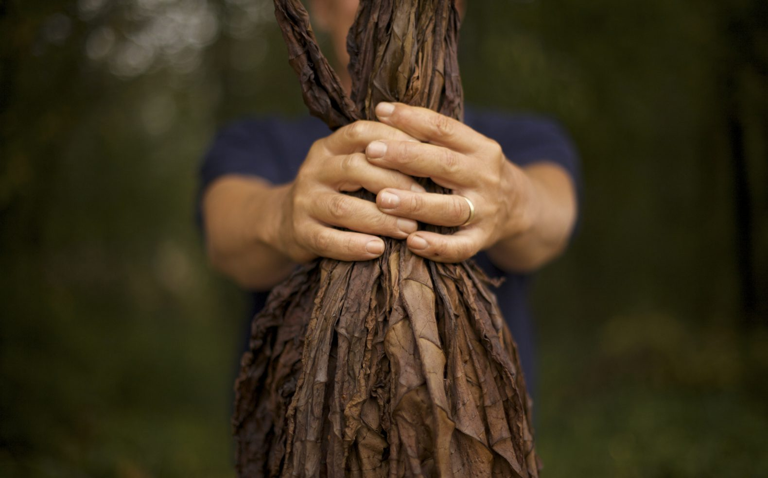 Male hands of a farmer clasped holding a bundle of dried, browned tobacco leafs.