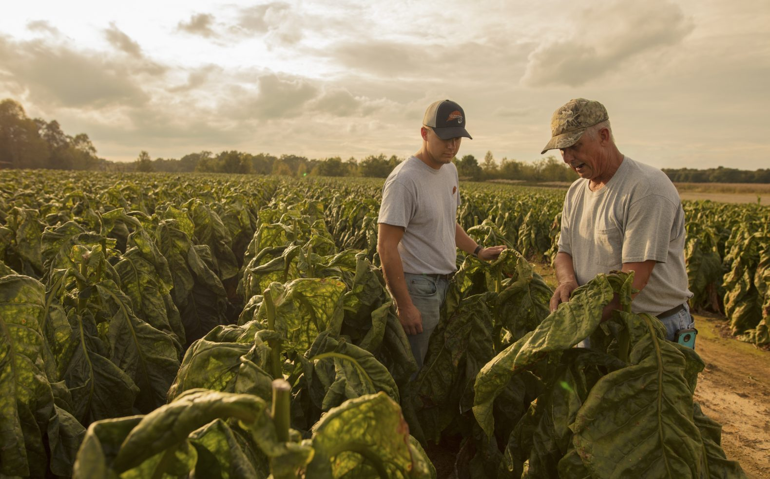 An older male farmer and younger male farmer standing in a tobacco field, examining the quality of a tobacco leaf.