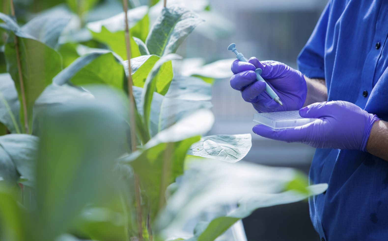 Professional photograph of a scientist taking a sample from a leaf into a small gridded plastic container in a greenhouse