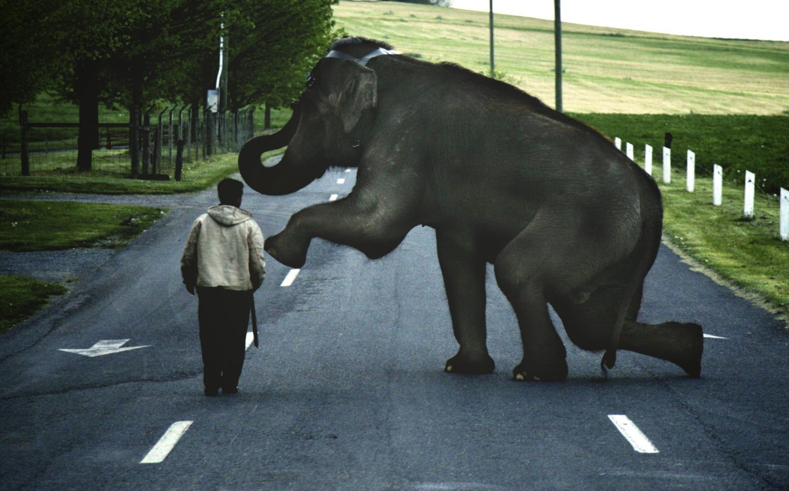 A man stands next to a kneeling elephant in a head harness on an empty asphalt street surrounded by grassy fields.