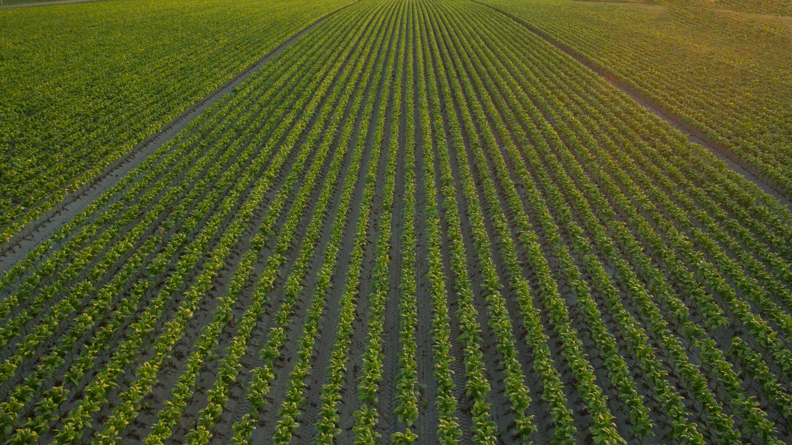 Perspective view of a field of rows of green crops.